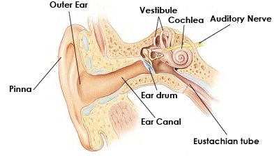 Diagram of your ear data wiring diagrams human ear diagram rh noisyjobs com diagram of your eardrum diagram of water in your ear ccuart Choice Image